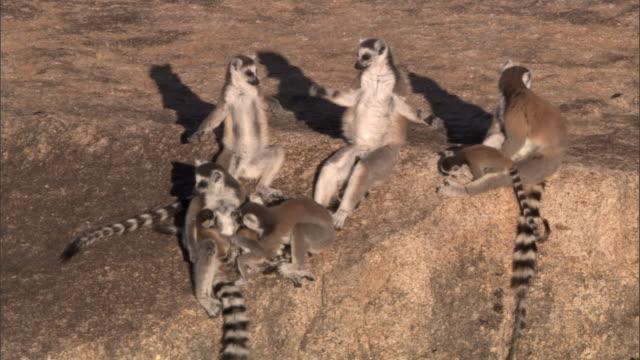 Ring tailed lemurs (Lemur catta) groom and sunbathe on rock face, Madagascar