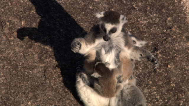 ring tailed lemurs (lemur catta) groom and sunbathe on rock face, madagascar  - rock face stock videos & royalty-free footage