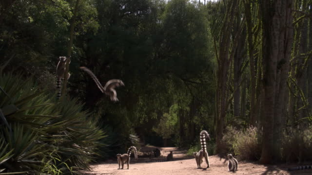 ring tailed lemurs (lemur catta) leap onto road, madagascar - キツネザル点の映像素材/bロール