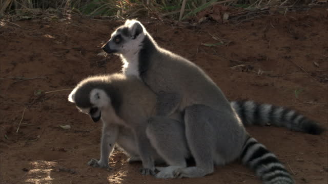 ring tailed lemurs (lemur catta) mate on ground, madagascar - male animal stock videos & royalty-free footage