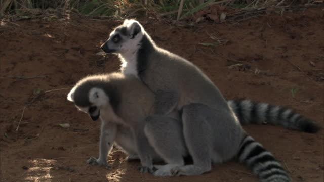 ring tailed lemurs (lemur catta) mate on ground, madagascar - mammal stock videos & royalty-free footage