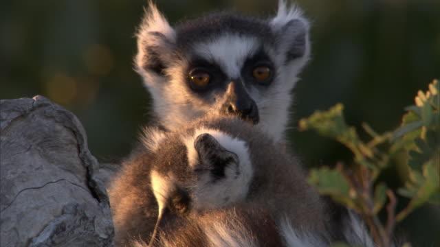 Ring tailed lemurs (Lemur catta) rest at dusk, Madagascar