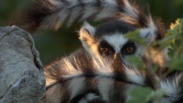 ring tailed lemurs (lemur catta) rest at dusk, madagascar - 動物の色点の映像素材/bロール