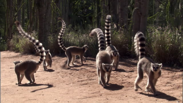 ring tailed lemurs (lemur catta) run on road, madagascar - group of animals stock videos & royalty-free footage