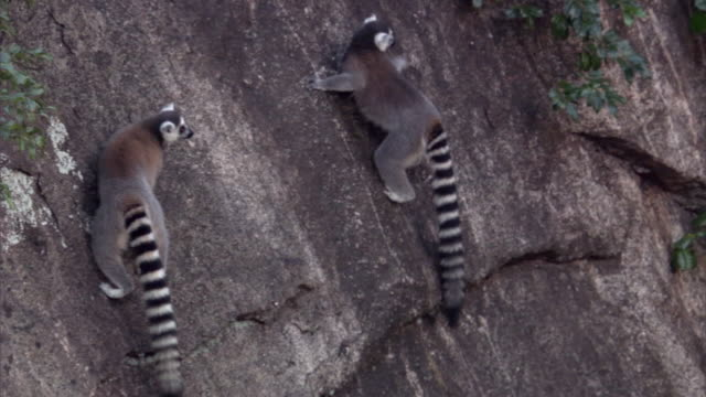 ring tailed lemurs (lemur catta) scramble across sheer rock face, madagascar  - rock face stock videos & royalty-free footage