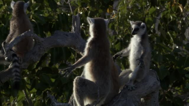 ring tailed lemurs (lemur catta) sunbathe, madagascar - インドリ点の映像素材/bロール