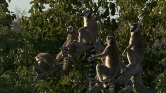 ring tailed lemurs (lemur catta) sunbathe, madagascar - キツネザル点の映像素材/bロール