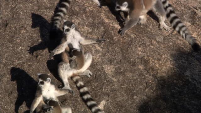 ring tailed lemurs (lemur catta) sunbathe on rock face, madagascar  - キツネザル点の映像素材/bロール