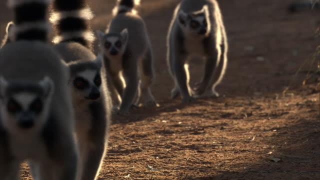 ring tailed lemurs (lemur catta) walk on dusty road, madagascar - キツネザル点の映像素材/bロール