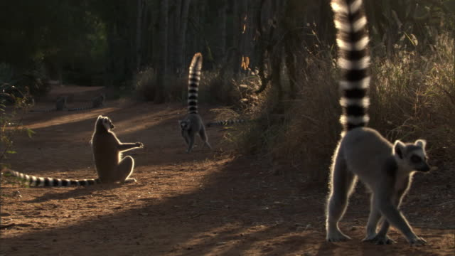 ring tailed lemurs (lemur catta) walk on dusty road, madagascar - group of animals stock videos & royalty-free footage