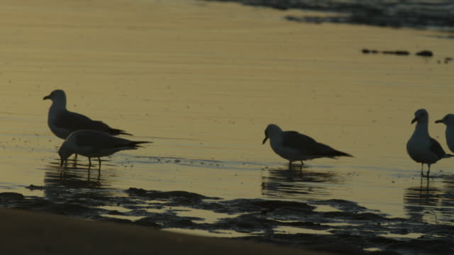 ring-billed gulls in low tide - low tide stock videos & royalty-free footage