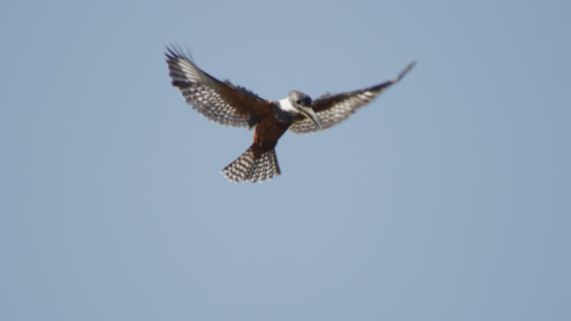 ringed kingfisher (megaceryle torquata) hovers overhead in blue sky. - flexibility stock videos & royalty-free footage