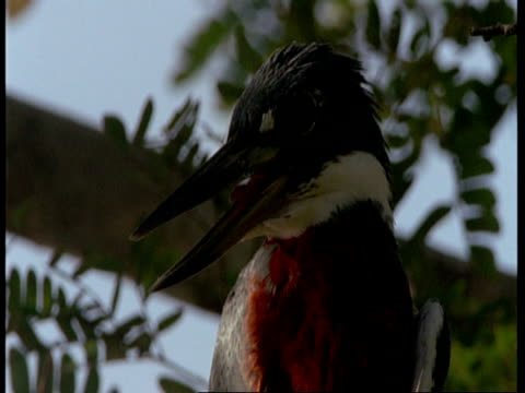 cu ringed kingfisher in tree, south america - maul stock-videos und b-roll-filmmaterial