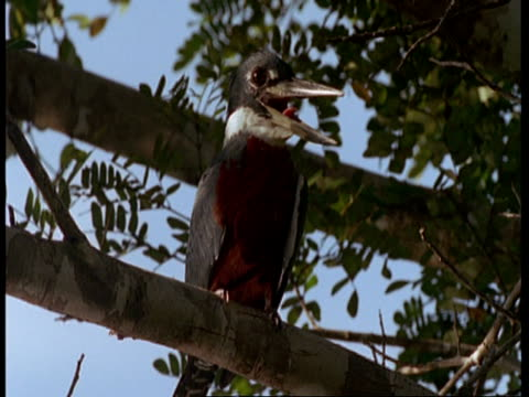 mcu ringed kingfisher in tree, south america - maul stock-videos und b-roll-filmmaterial