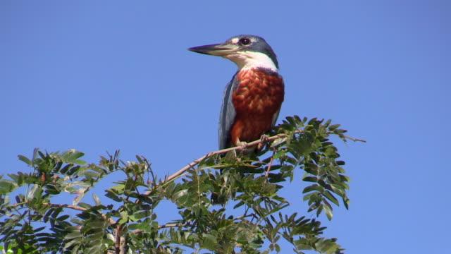 ringed kingfisher male on shrub, pantanal, brazil - vattenfågel bildbanksvideor och videomaterial från bakom kulisserna