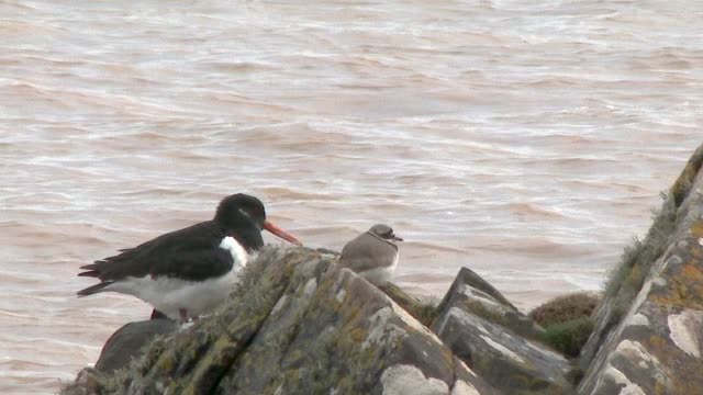 Ringed Plover and Oystercatcher on rocks next to the sea