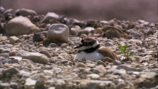 Ringed plover (Charadrius hiaticula) sits on nest on shingle beach, UK