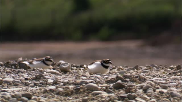 Ringed plovers (Charadrius hiaticula) change places on nest on shingle beach, UK
