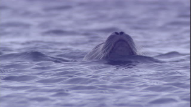 a ringed seal dives in a polynya ice lake in arctic canada. available in hd. - seals stock videos and b-roll footage
