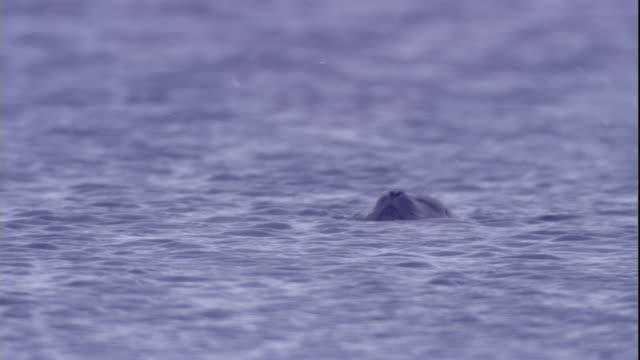 a ringed seal dives in polynya ice lake as snow falls. available in hd. - seals stock videos and b-roll footage