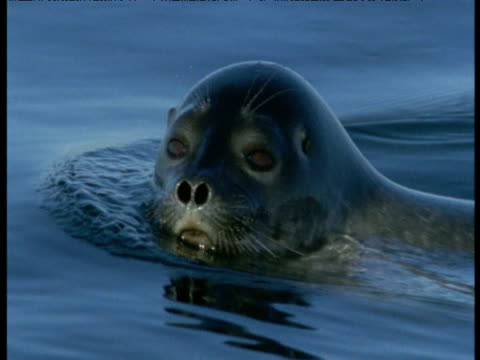 ringed seal swims past camera and submerges - arctic stock videos & royalty-free footage
