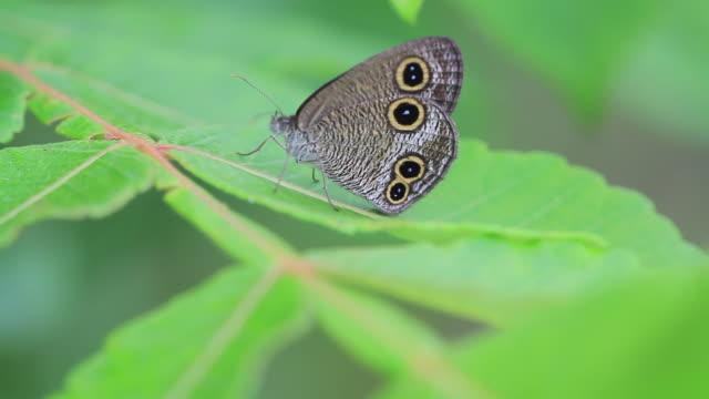 ringlet butterfly (ypthima multistriata) - gliedmaßen körperteile stock-videos und b-roll-filmmaterial