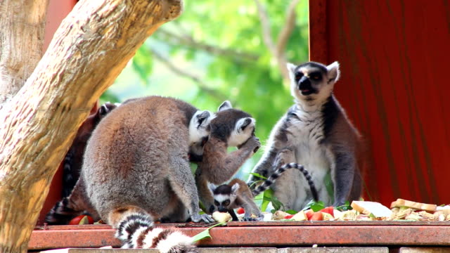 ringtail lemur - threatened species stock videos & royalty-free footage
