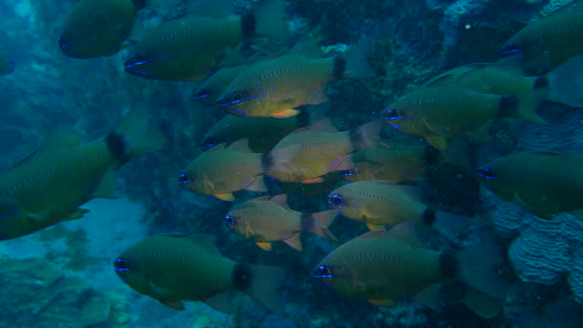 Ring-tailed cardinalfish schooling in coral reef, Taiwan