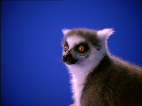 vídeos y material grabado en eventos de stock de ring-tailed lemur chewing with its mouth open - postura