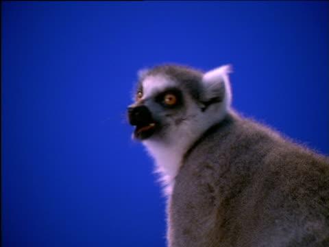 Ring-tailed lemur chews and looks around