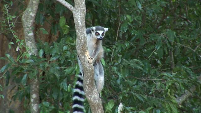 ms cu  ring-tailed lemur on tree looking around  / madagascar - キツネザル点の映像素材/bロール
