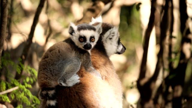 vidéos et rushes de lémurien à queue cerclée - tropical