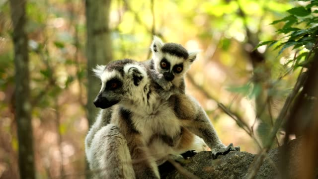 ring-tailed lemur - endangered species stock videos & royalty-free footage