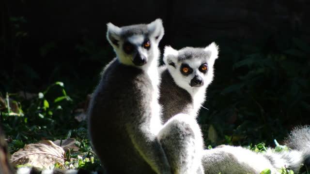 ring-tailed lemur - animal hair stock videos & royalty-free footage