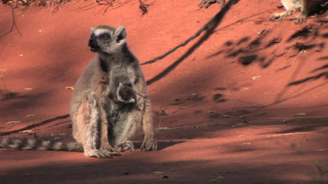 MS, Ring-tailed lemur (Lemur catta) with baby sitting on ground, Berenty Private Reserve, Toliara Province, Madagascar