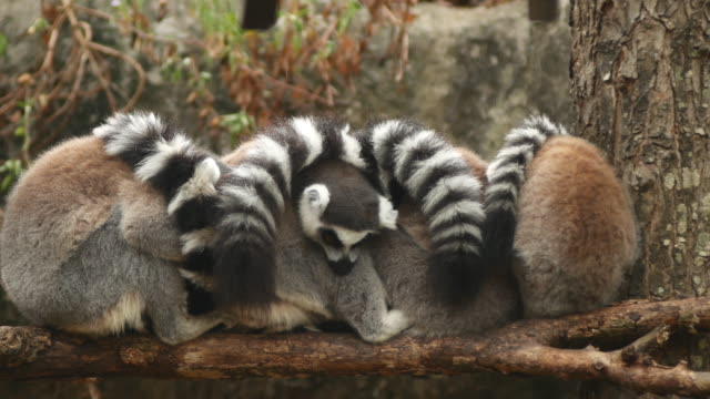 ring-tailed lemures (lemur catta) sleeping in a group close together - tail stock videos & royalty-free footage