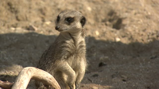 ringtailed lemurs and meerkats roaming around their enclosures at the wild place project at bristol zoo on april 14 2016 in bristol england - meerkat stock videos & royalty-free footage