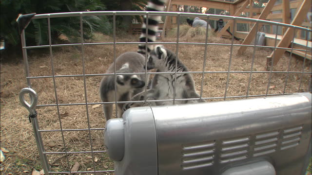 Ring-tailed lemurs sit near a space heater.