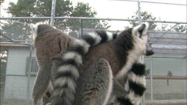 Ring-tailed lemurs sit on a platform.