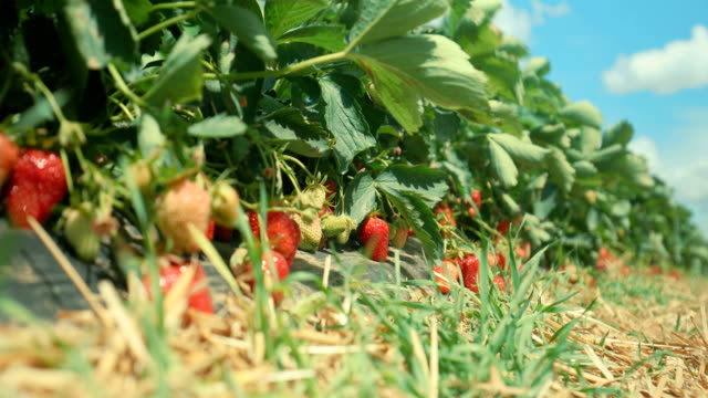 ripe and not so ripe ones - strawberries - bush stock videos & royalty-free footage