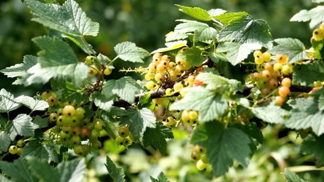 ripe and unripe red currants in the garden in hd - unripe stock videos and b-roll footage
