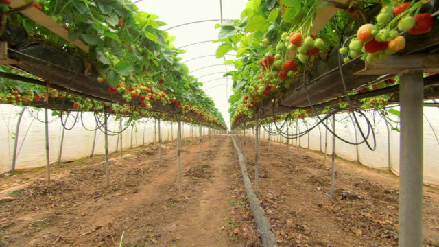 ripe and unripe strawberries on the plant in an aquaponic farm - イチゴ点の映像素材/bロール