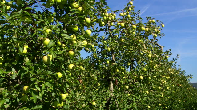 ripe apples in an orchard tilt up - fruit tree stock videos & royalty-free footage