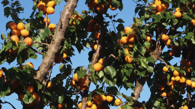 ms zi ripe apricot on trees in orchard / central otago, new zealand - apricot stock videos & royalty-free footage