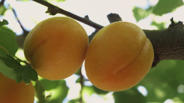 cu ripe apricots on tree ready for picking / central otago, new zealand - apricot stock videos & royalty-free footage