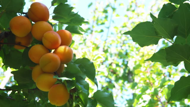 ms ripe apricots on trees in orchard / central otago, new zealand - apricot stock videos & royalty-free footage