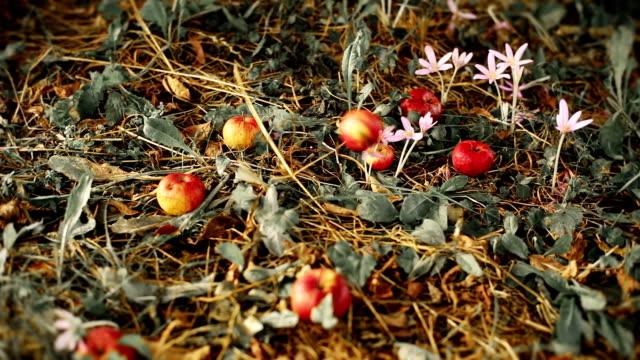HD: Ripe Bio Apples Falling From Tree