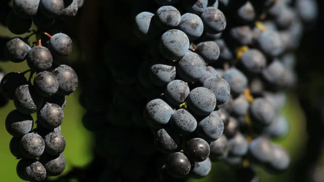 ripe blue grapes close up (loopable) - herbst stock videos & royalty-free footage