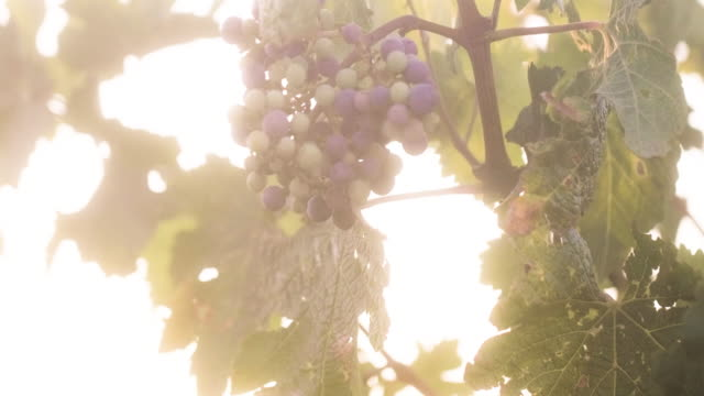 vídeos de stock e filmes b-roll de ripe blue grapes in the vineyard - ramo parte de uma planta