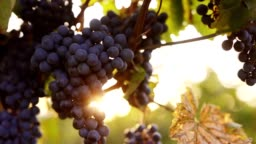 Ripe blue grapes in the vineyard with sunlight